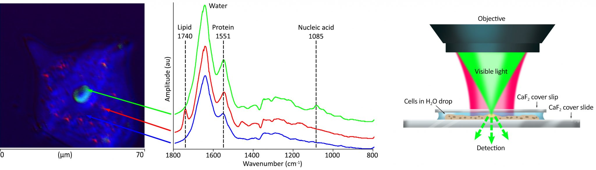 Image of data showing submicron O-PTIR imaging of live cells in water